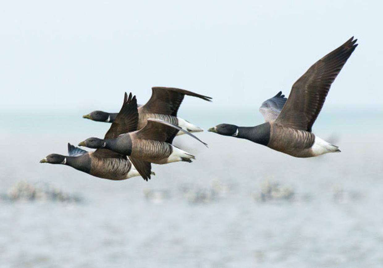 Knortegæs i flugten - Ringelgänse im Flug - Brent Geese in flight  Foto : Bo L. Christiansen  ©