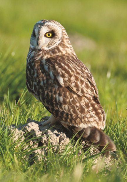 Mosehornugle - Sumpfohreule - Short-eared Owl  Foto : Bo L. Christiansen  ©