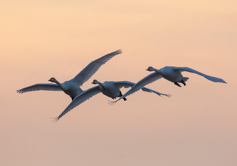 Sangsvaner ved solnedgang - Singschwäne beim Sonnenuntergang - Whooper Swans at sunset  Foto : Bo L. Christiansen  ©