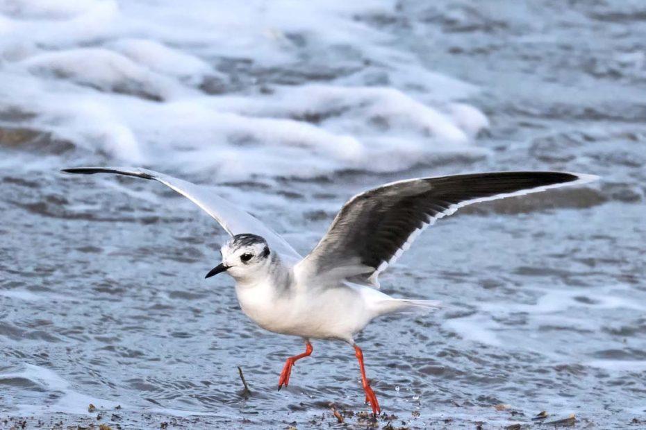 Fødesøgende Dværgmåge i havskarn - Sædding Strand v.Esbjerg , Danmark