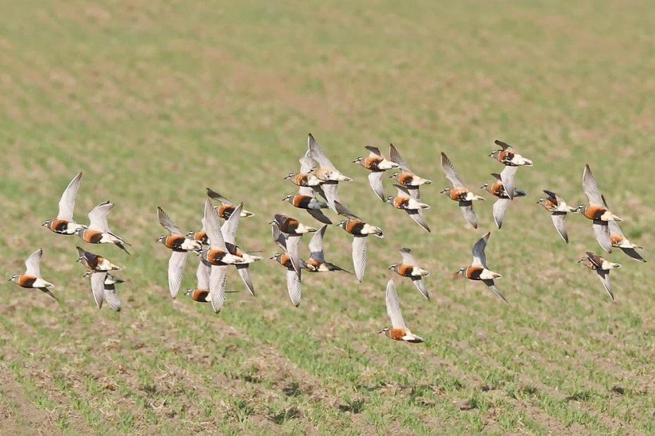 Flyvende flok Pomeransfugle - Grønæltevej v./ Skjern Enge , Danmark  - Crex Naturkalender 2021 Maj Måned