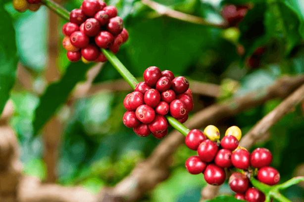 Koffiebes