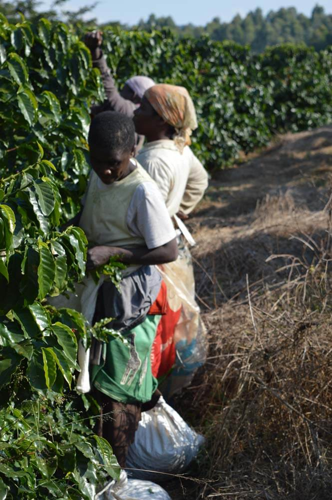 Coffee &Amp; Tea Trip Satemwa Malawi
