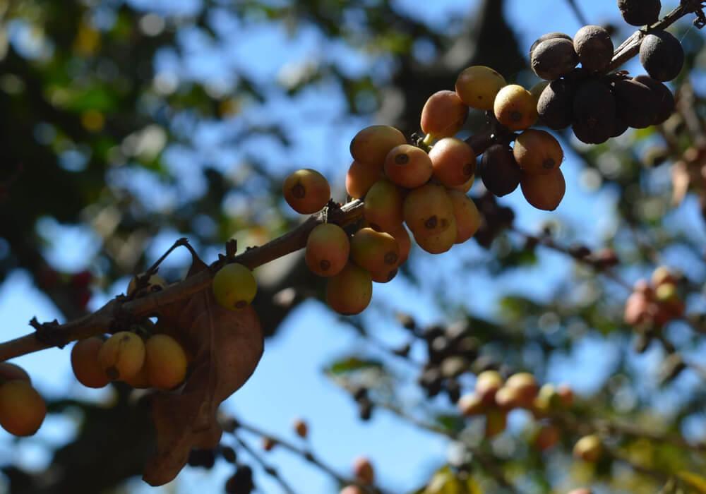 2290 - Huehuetenango koffieregio
