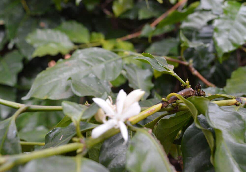 Malawi - Koffieplant