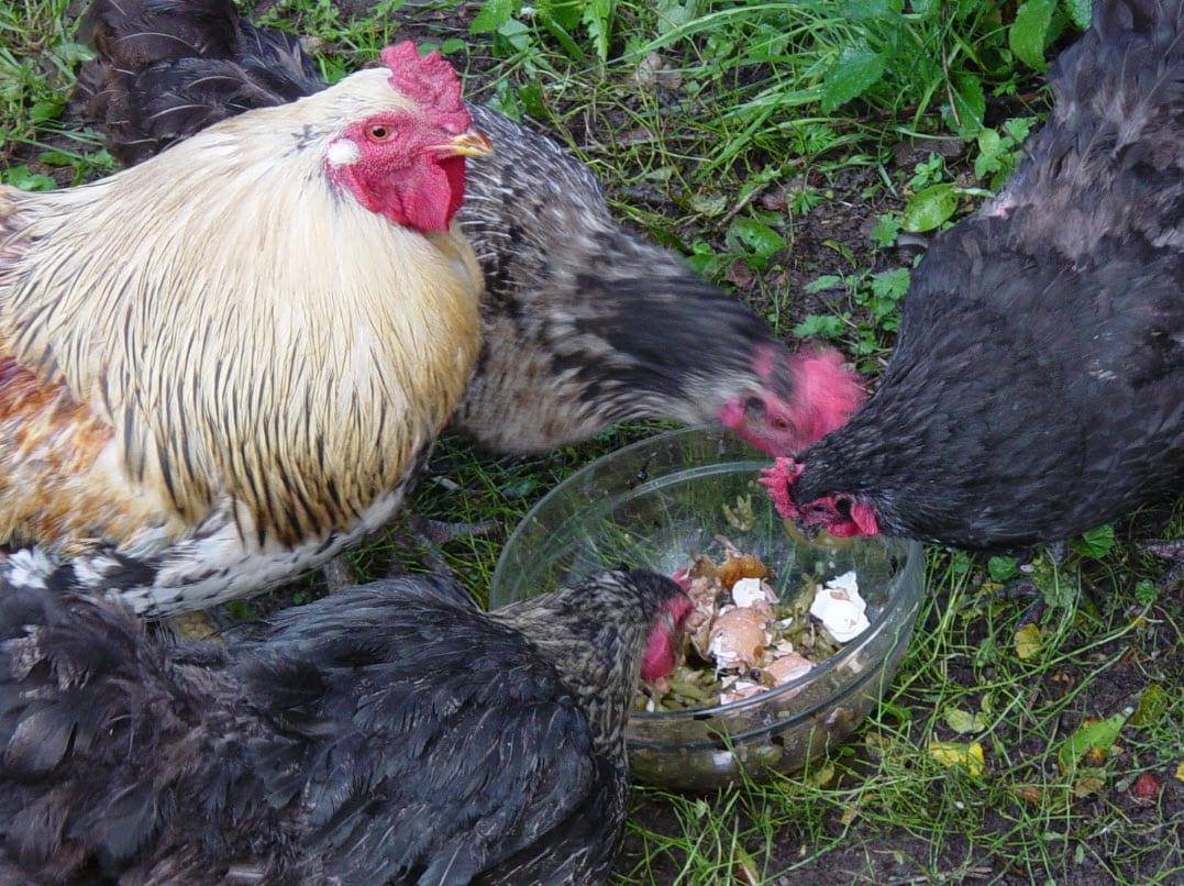 Kornfede høns