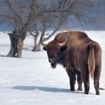 European-bison2