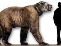 En Korthovedet bjørn