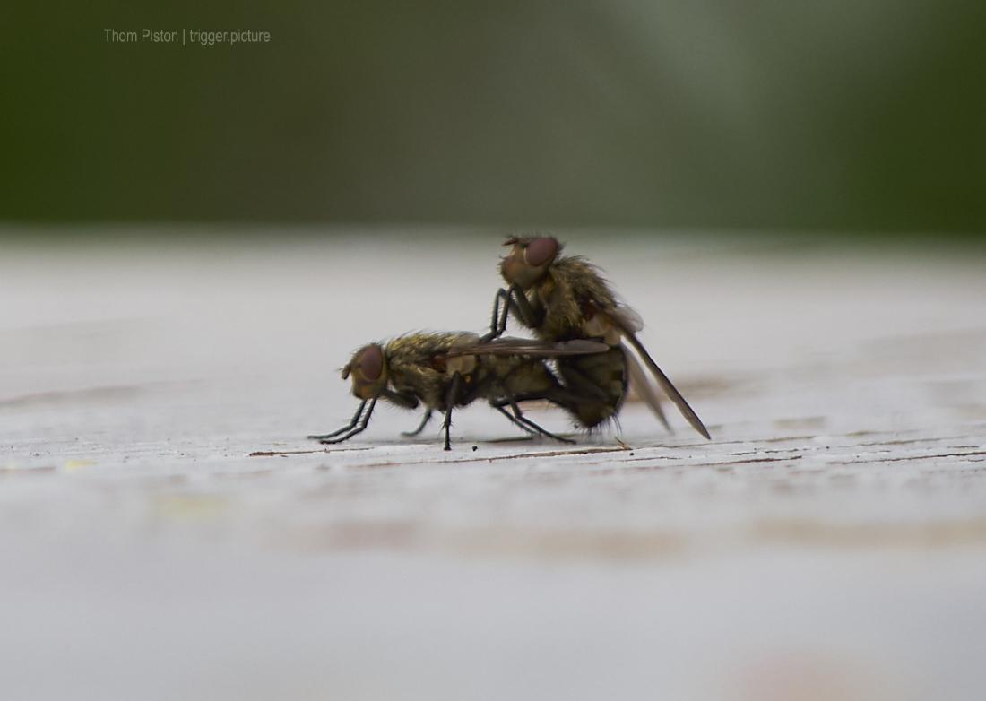 Sex der Fliegen auf dem Tisch des Dakota Home