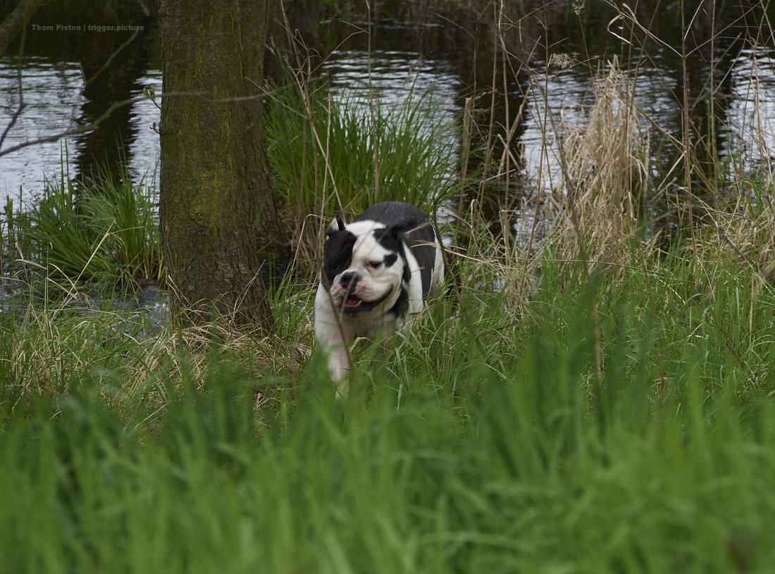 egal wie kalt..alwin the olde british bulldog am baden