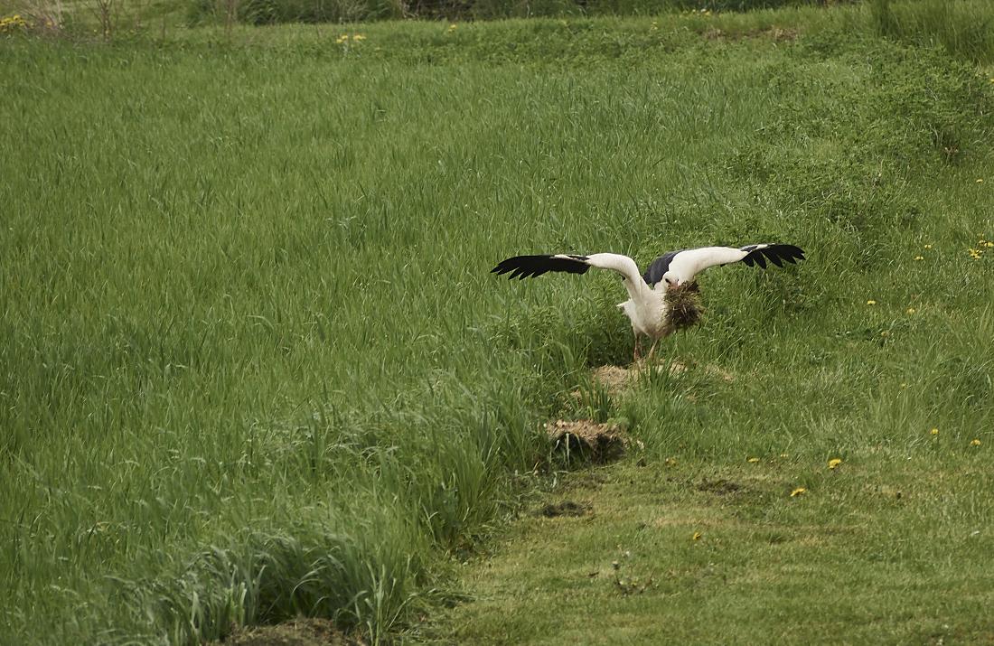 der storch in action am dakota home