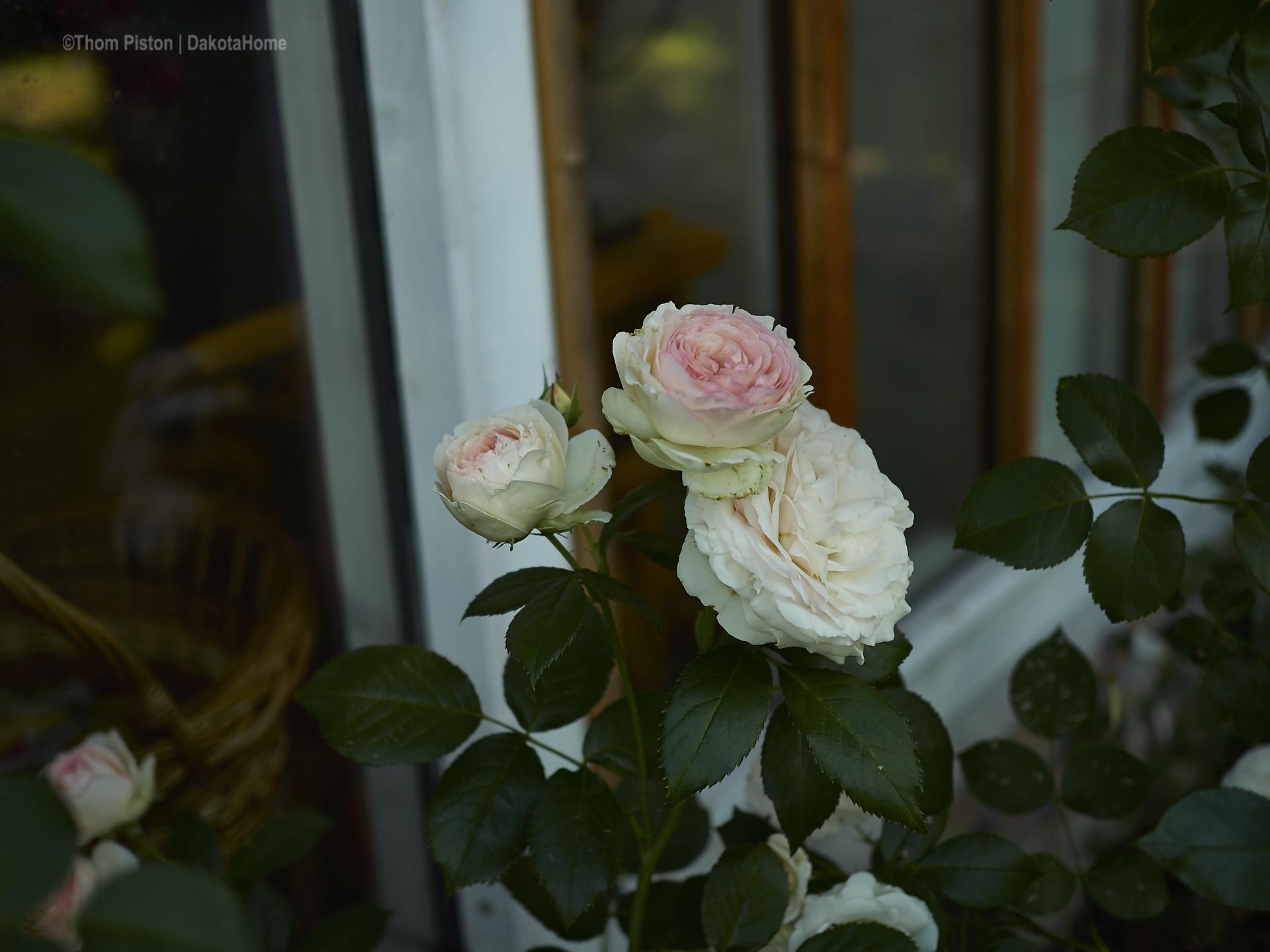 Weisse Rosen am Dakota Home