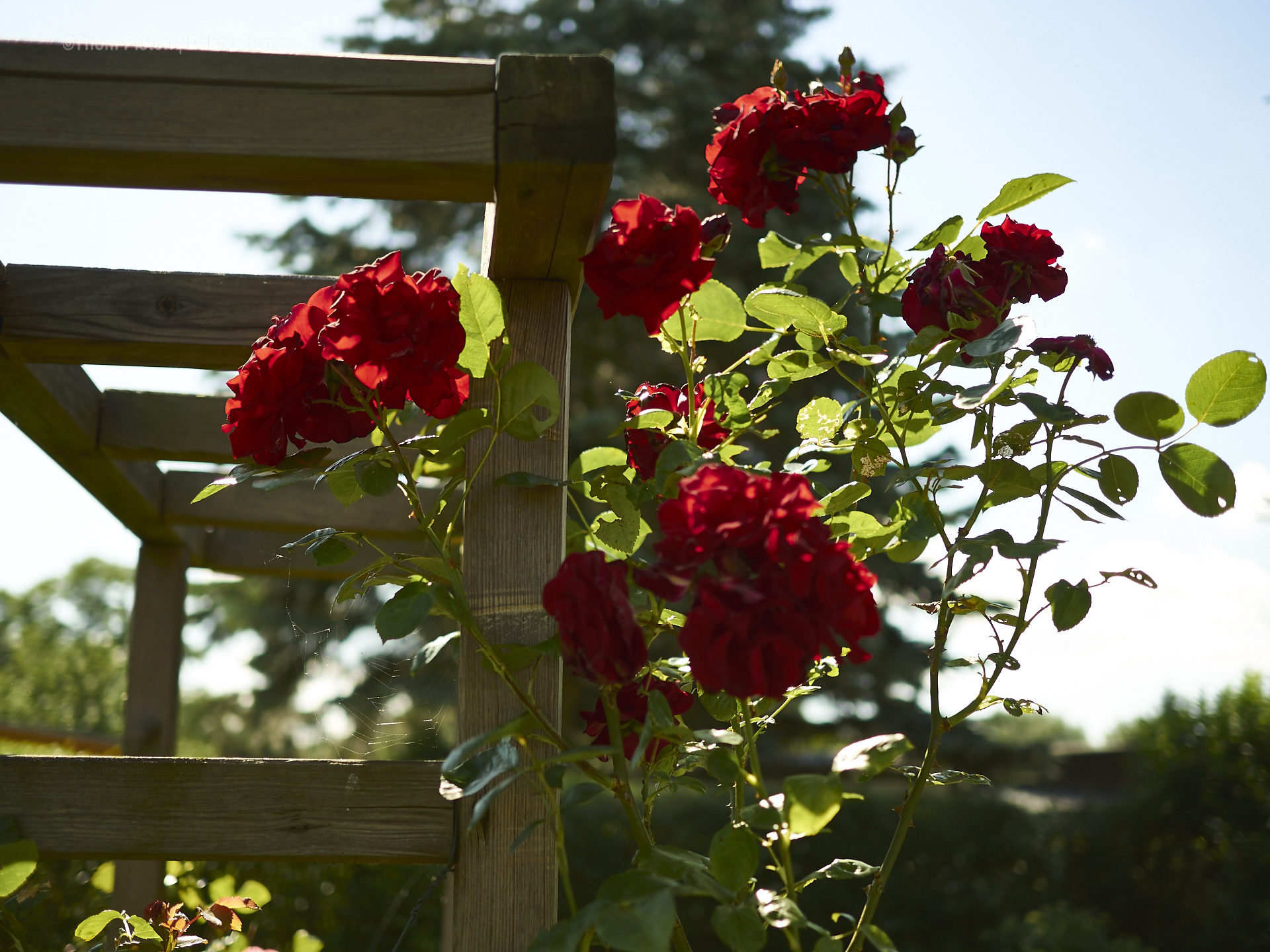Rosen an der Ponderosa