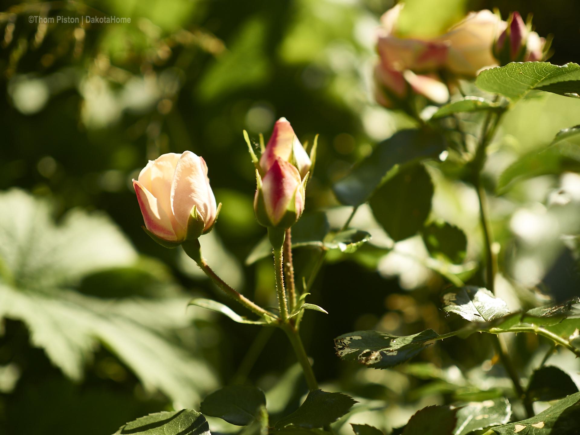 andere rosen haha