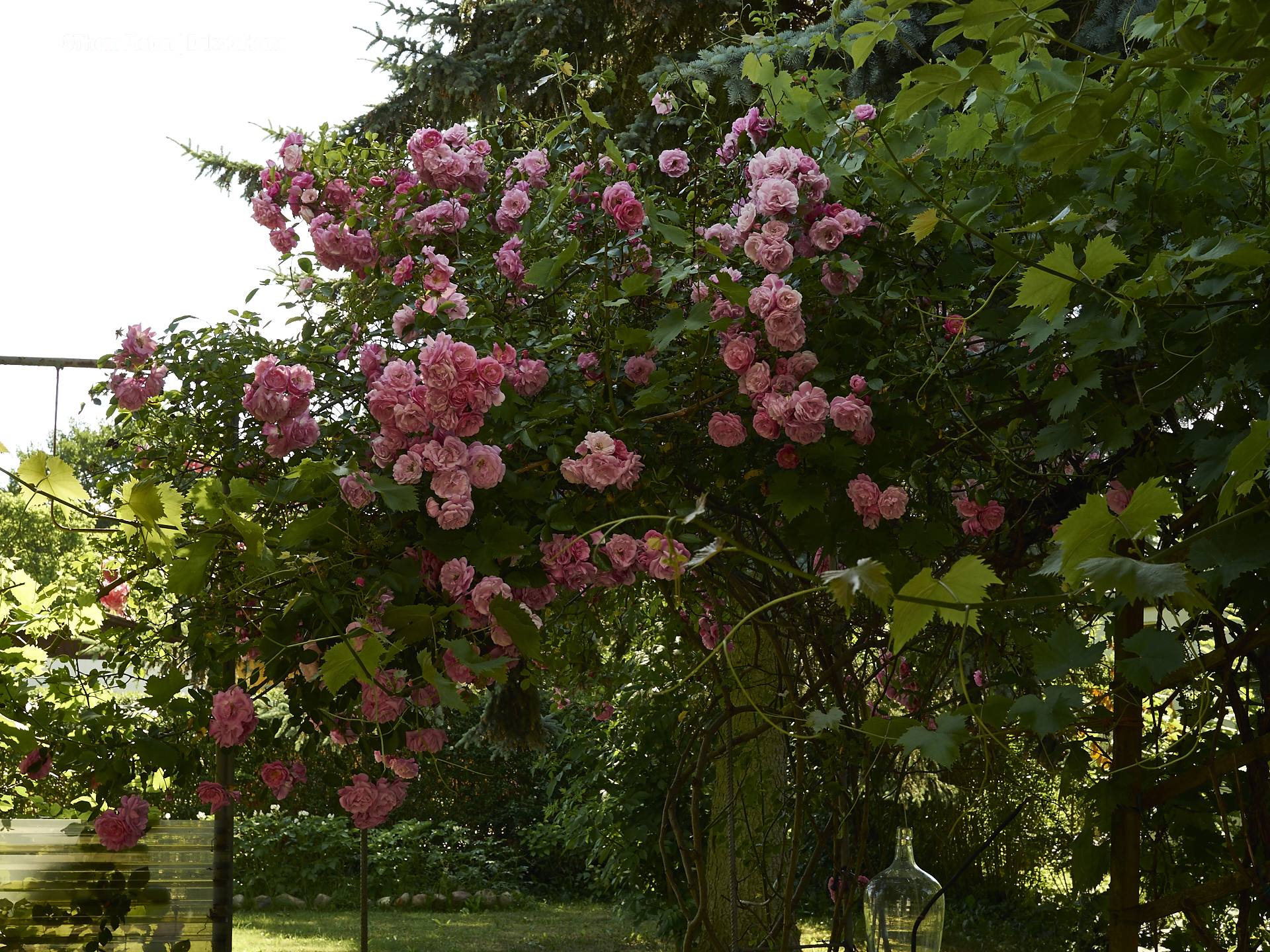 rosen rosen rosen an der pondeROSA