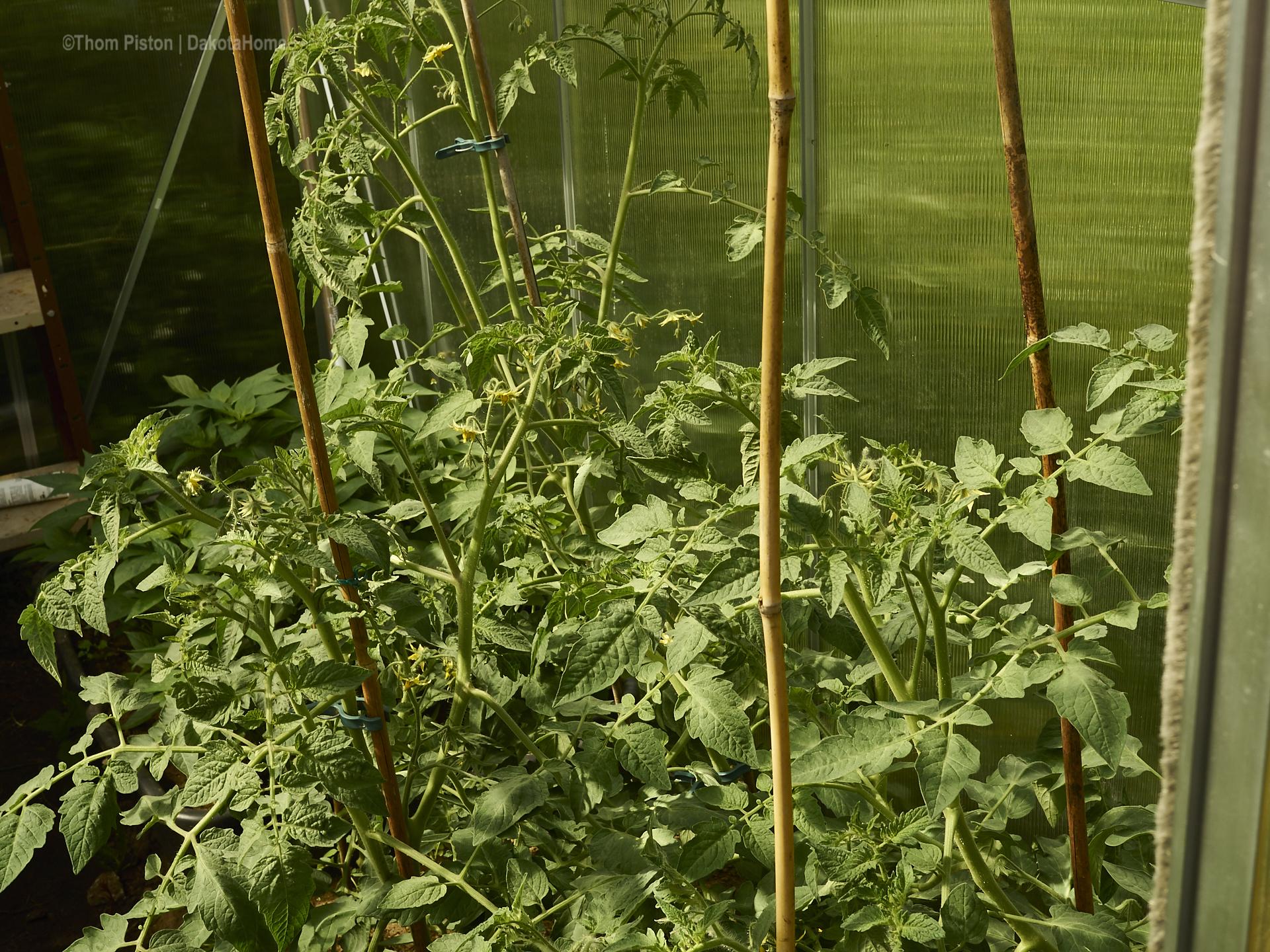 Tomatenpflanzen im Gewächshaus