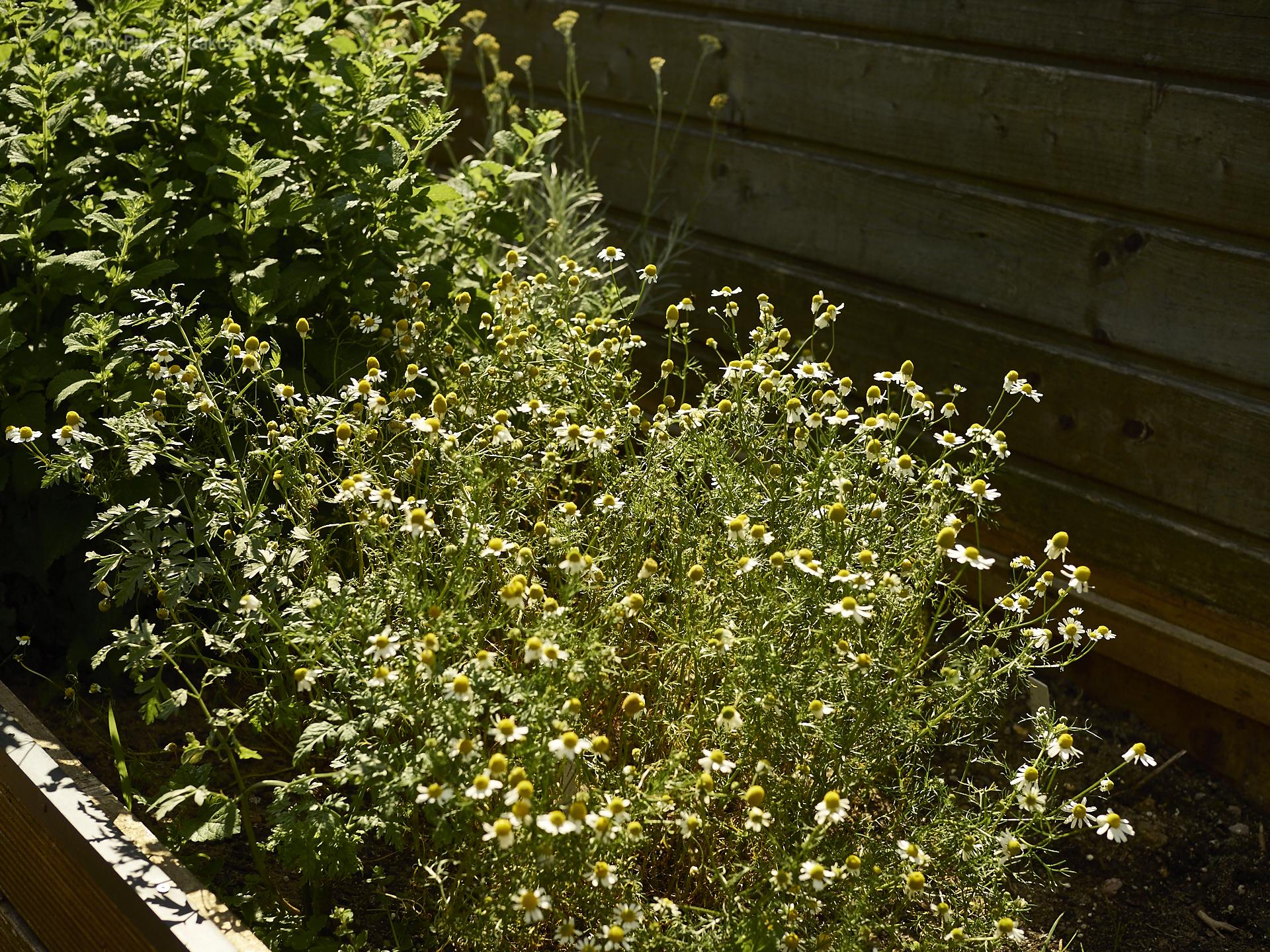 Kamille und minze at dakota home