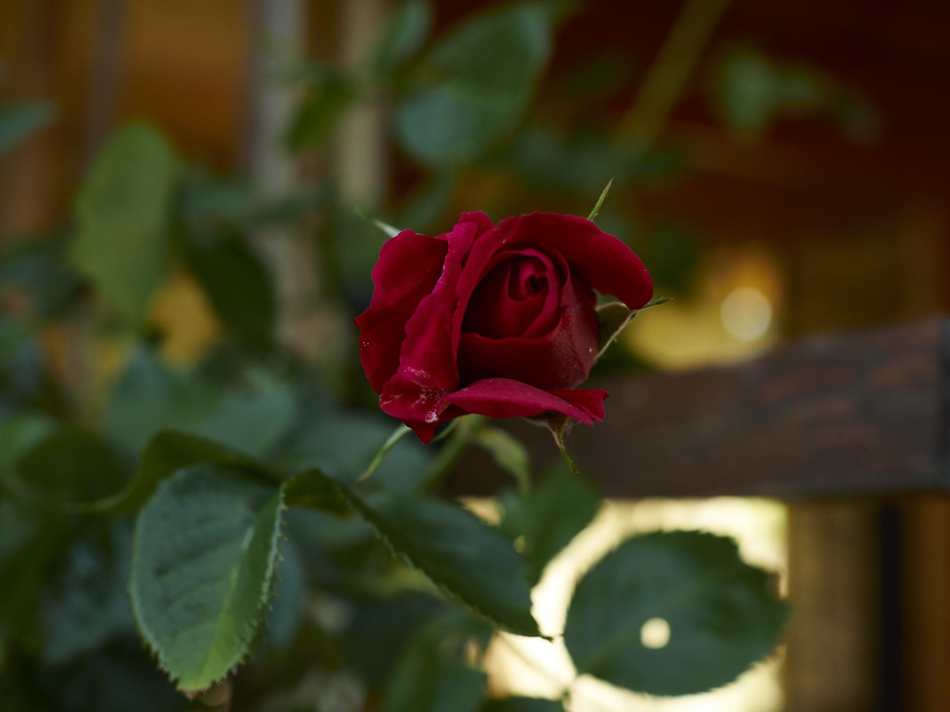 Rosen im Dakota Home