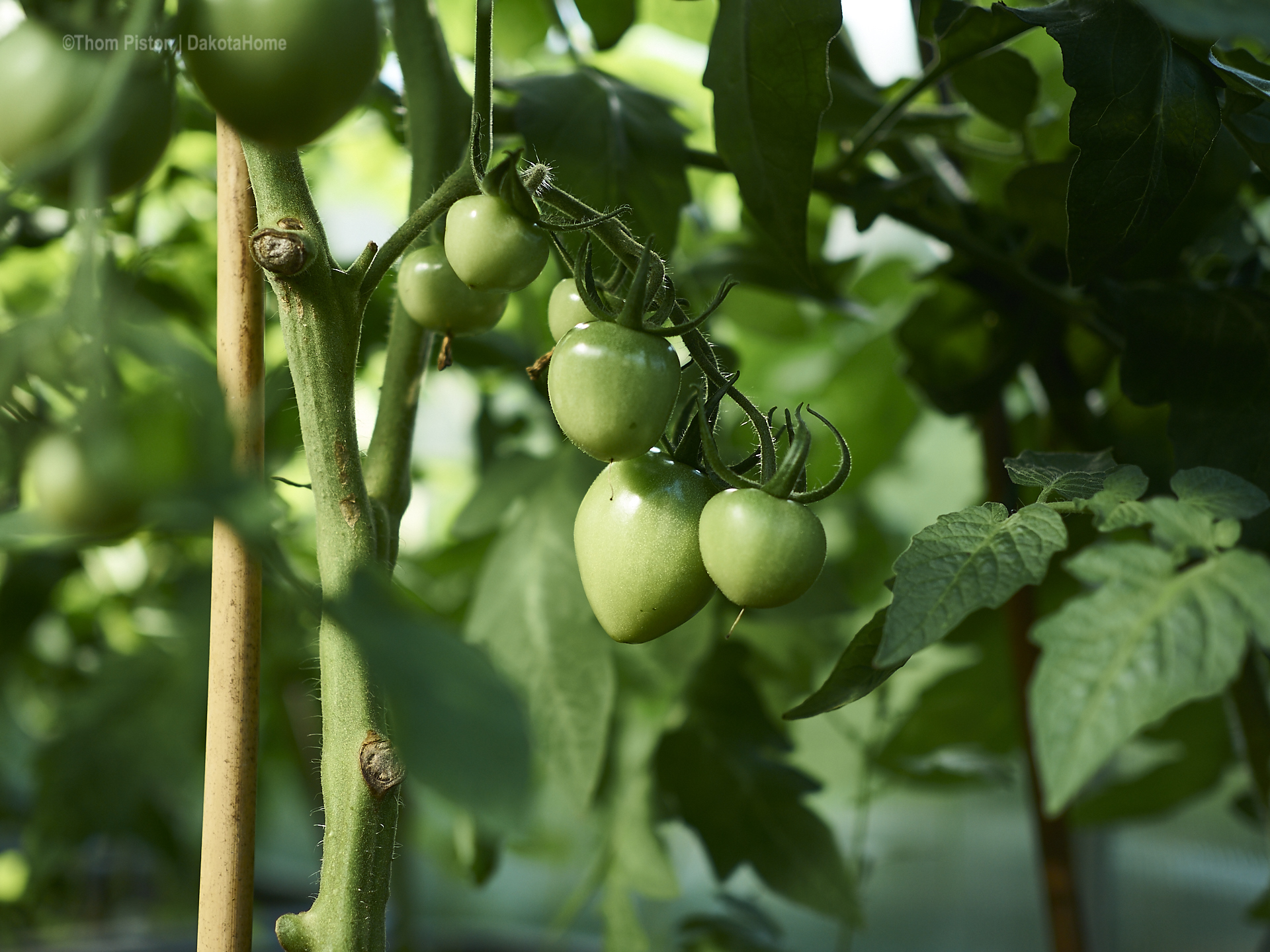 fioradade californische tomate at dakota home