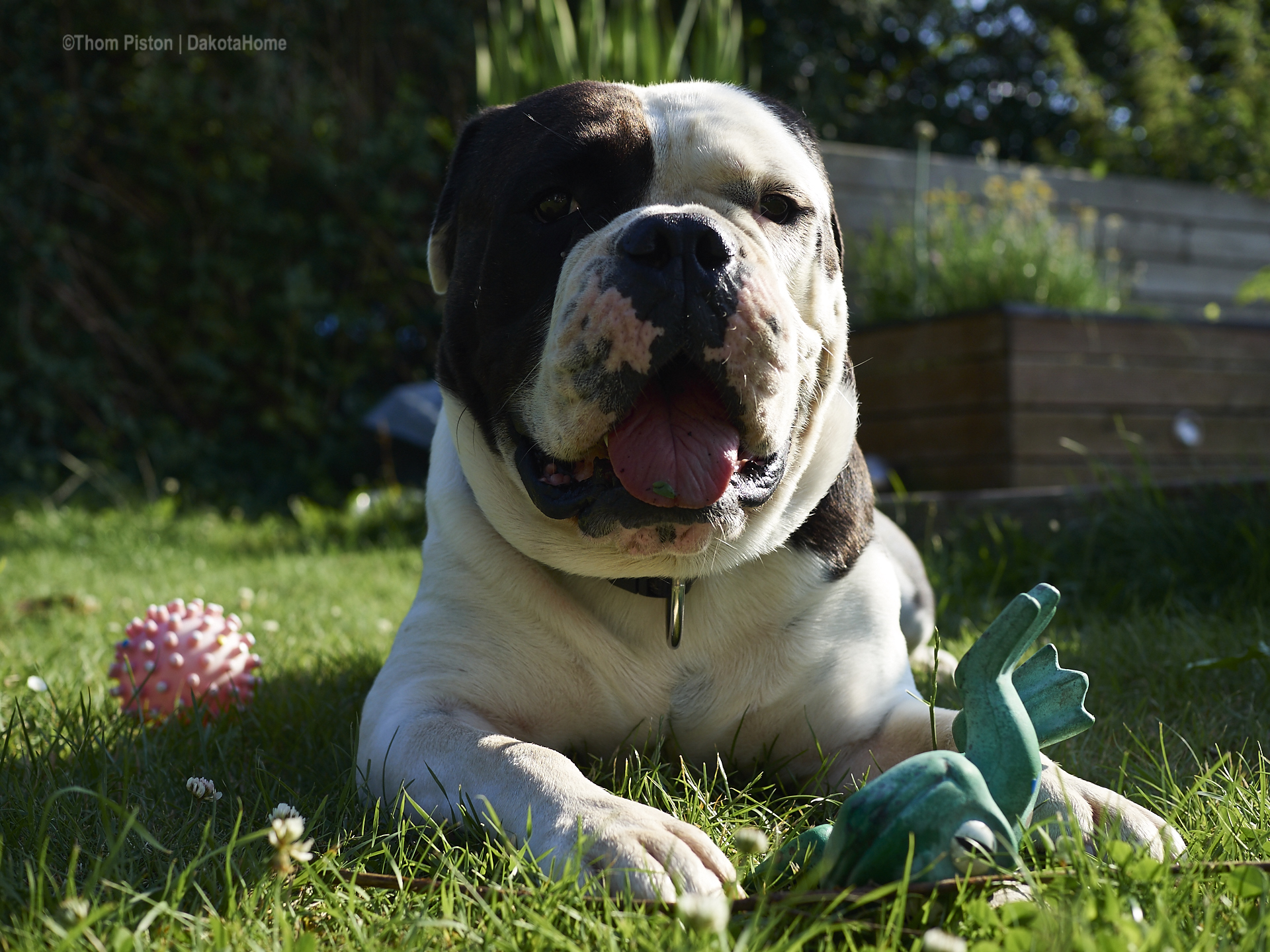 alwin the oldebritish bulldog