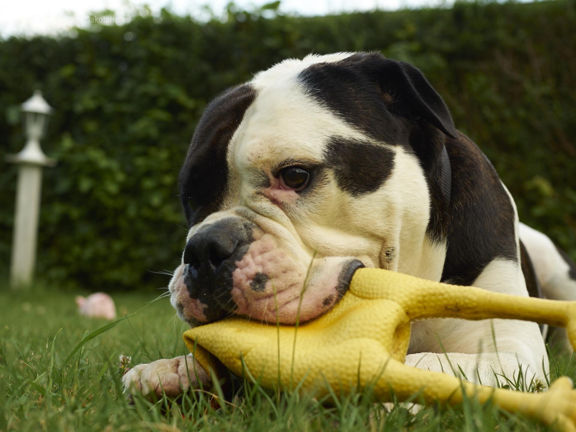Alwin the olde british bulldog hat sein 4. geburtstag