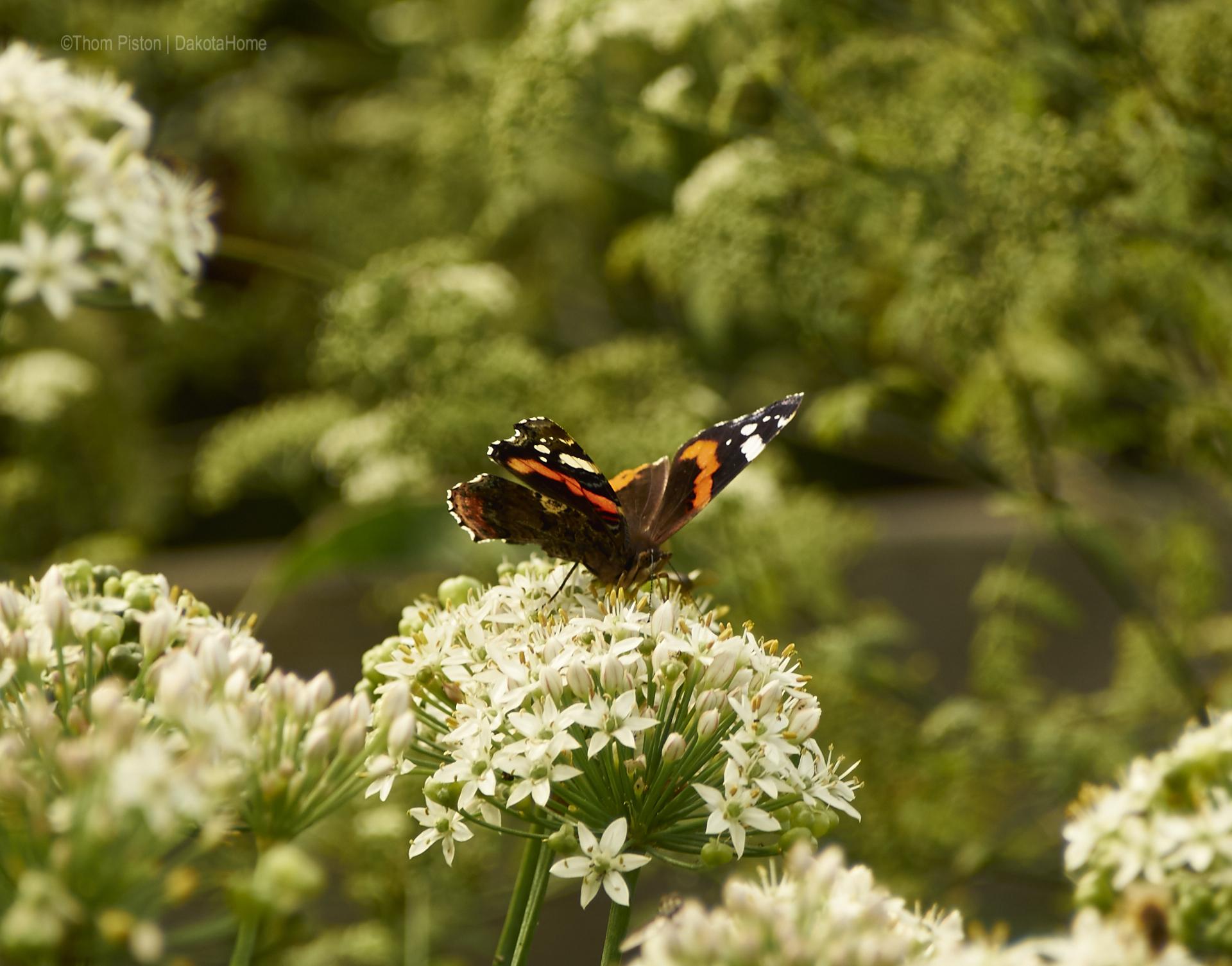 Schmetterling at Dakota Home
