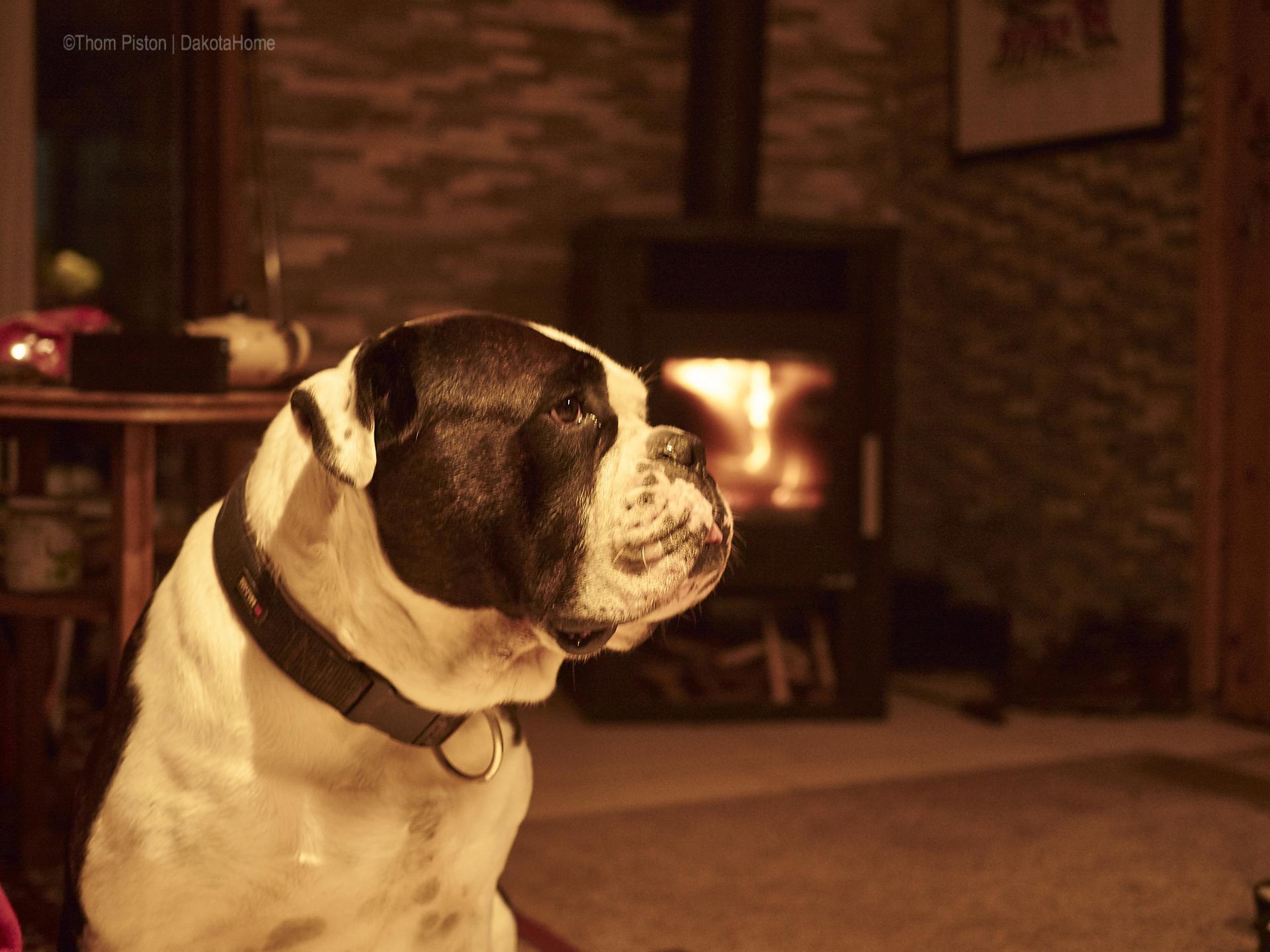 Alwin the olde british bulldog vorm kamin