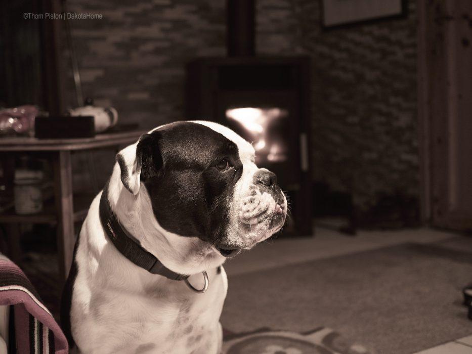 bulldogge und kamin
