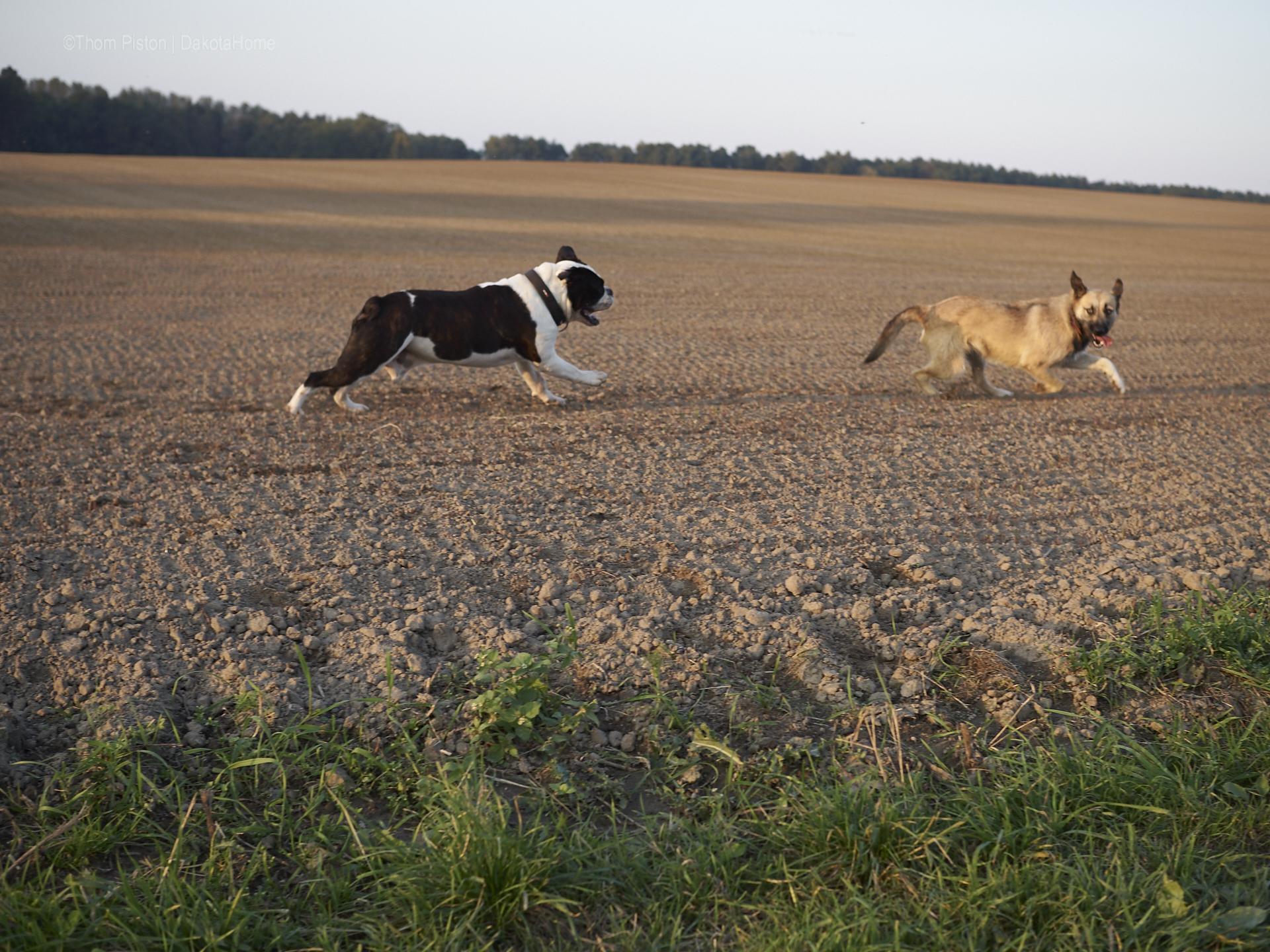 Alwin, Bulldog, Bulldogge, English bulldog, Oldenglishbulldog, englishbulldog,