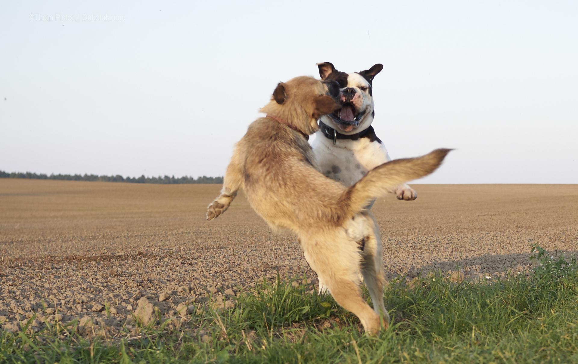 bulldogge beim spielen