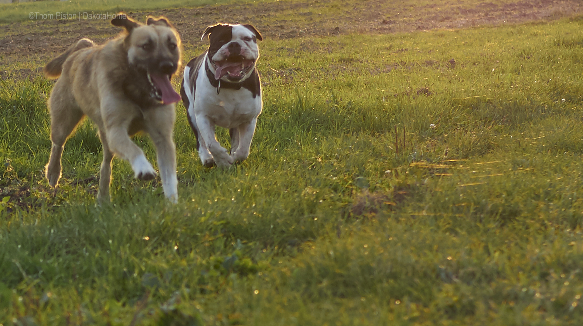 English Bulldog auf dem feld, olympus, olympusomd, wildlifephotographie, animalphoto,