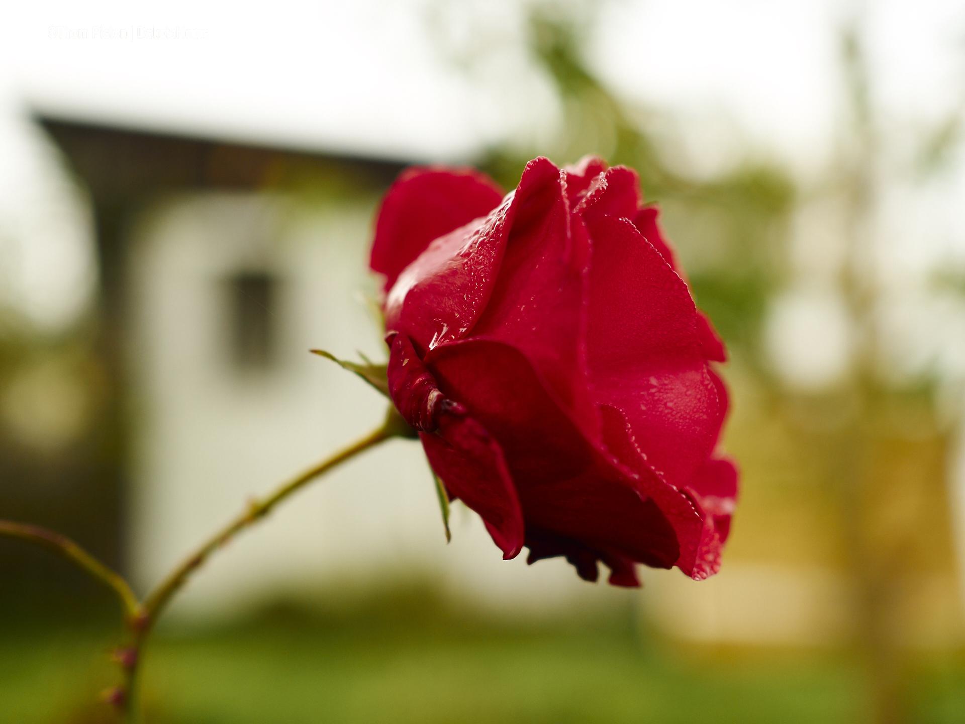 Rosen ende Oktober at Dakota HomeRosen ende Oktober at Dakota Home