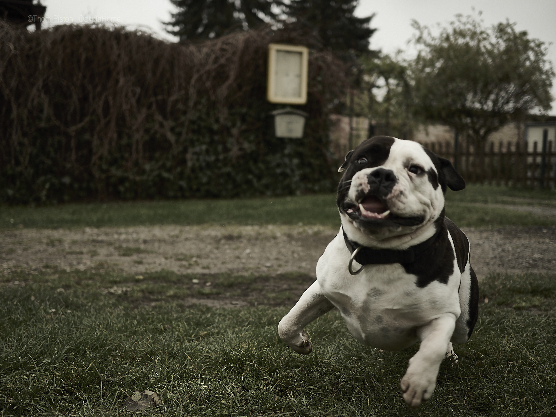 Olde British Bulldog in Action