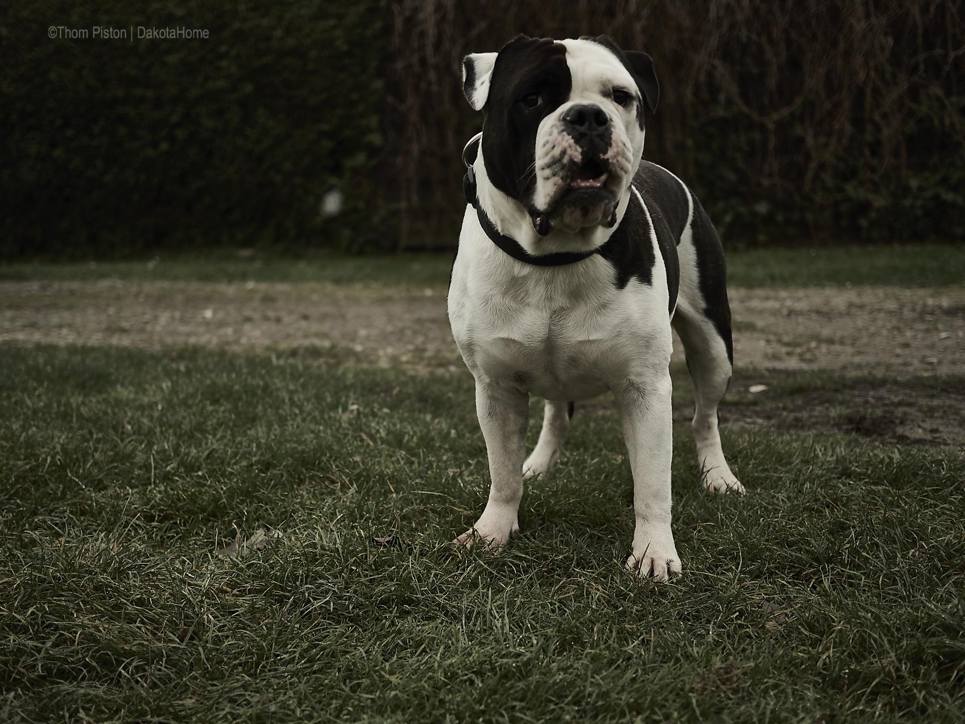 Alwin the Olde British Bulldog