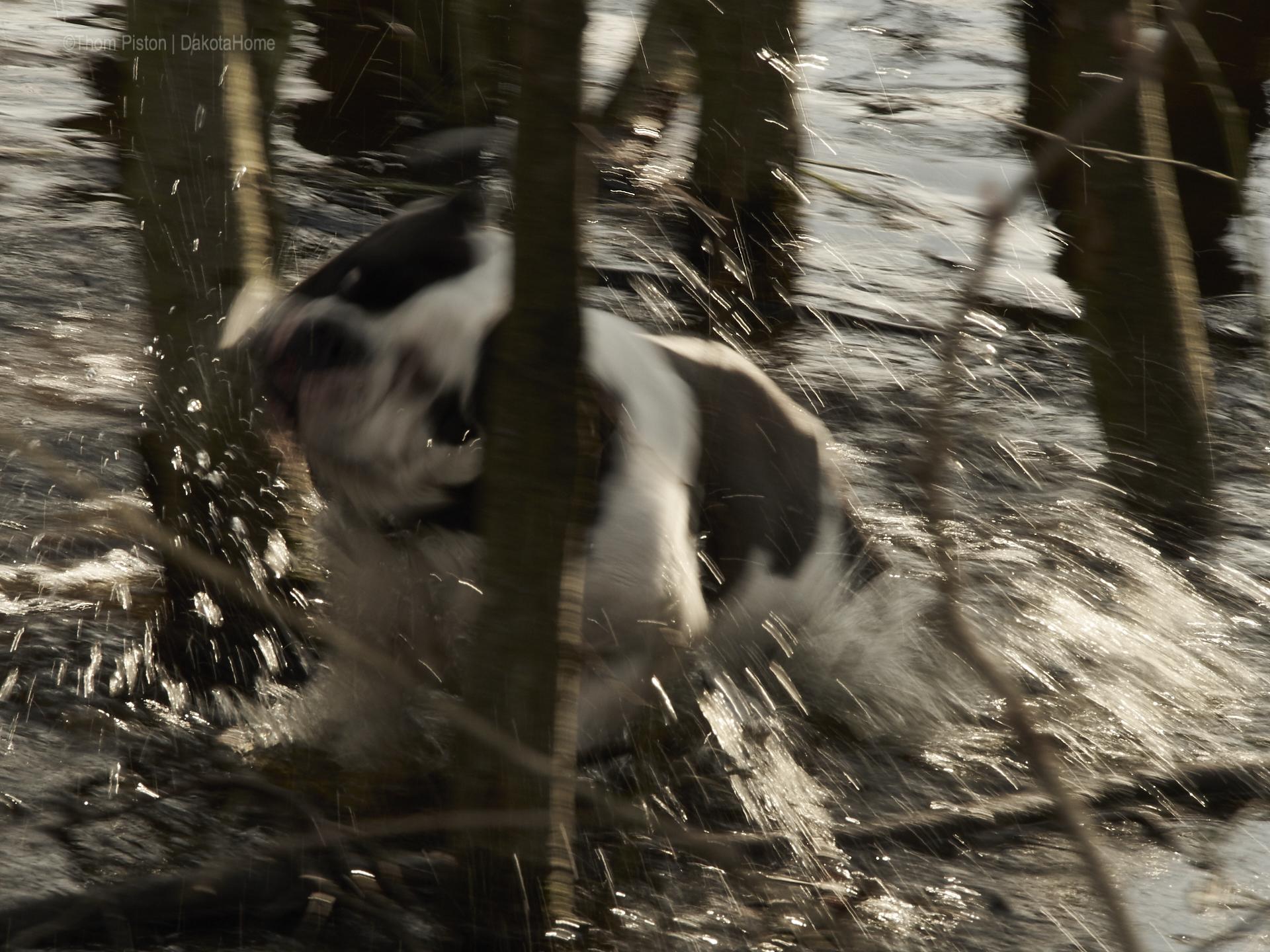 die bulldogge alwin anfang april am anbaden