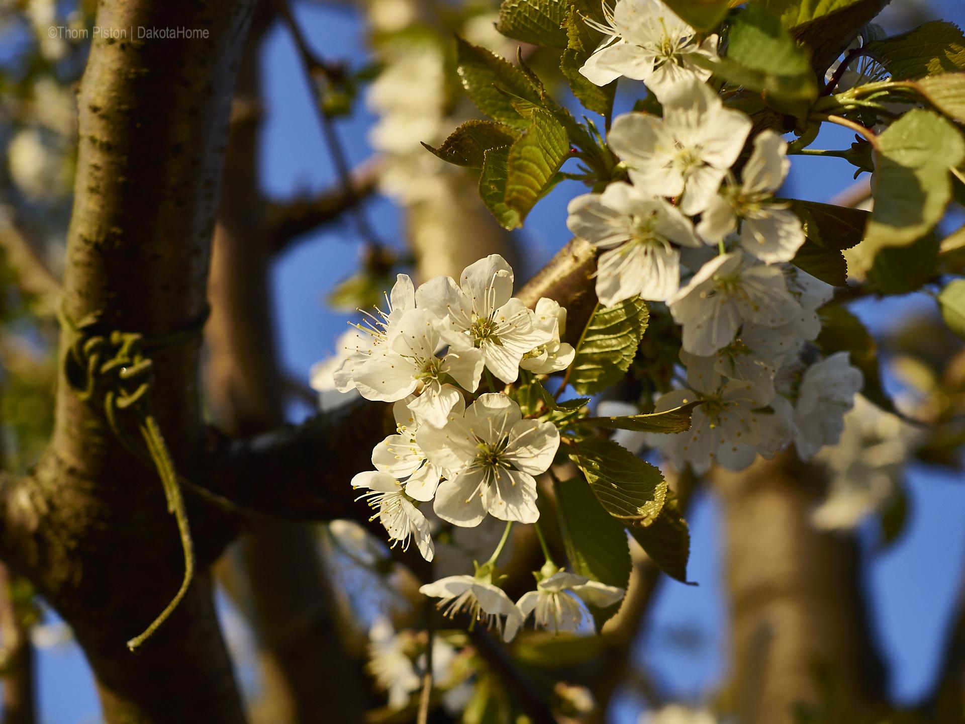 kirschblüte dakota home