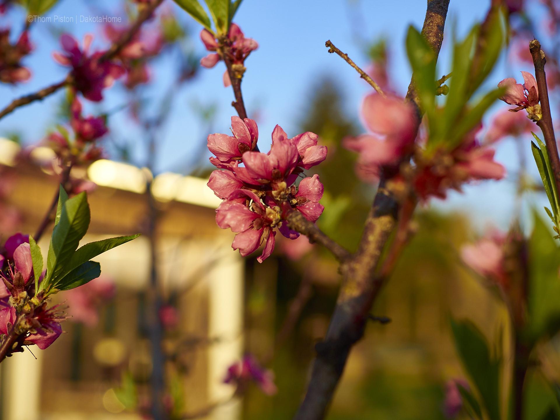 pfirsich blüten at dakota home