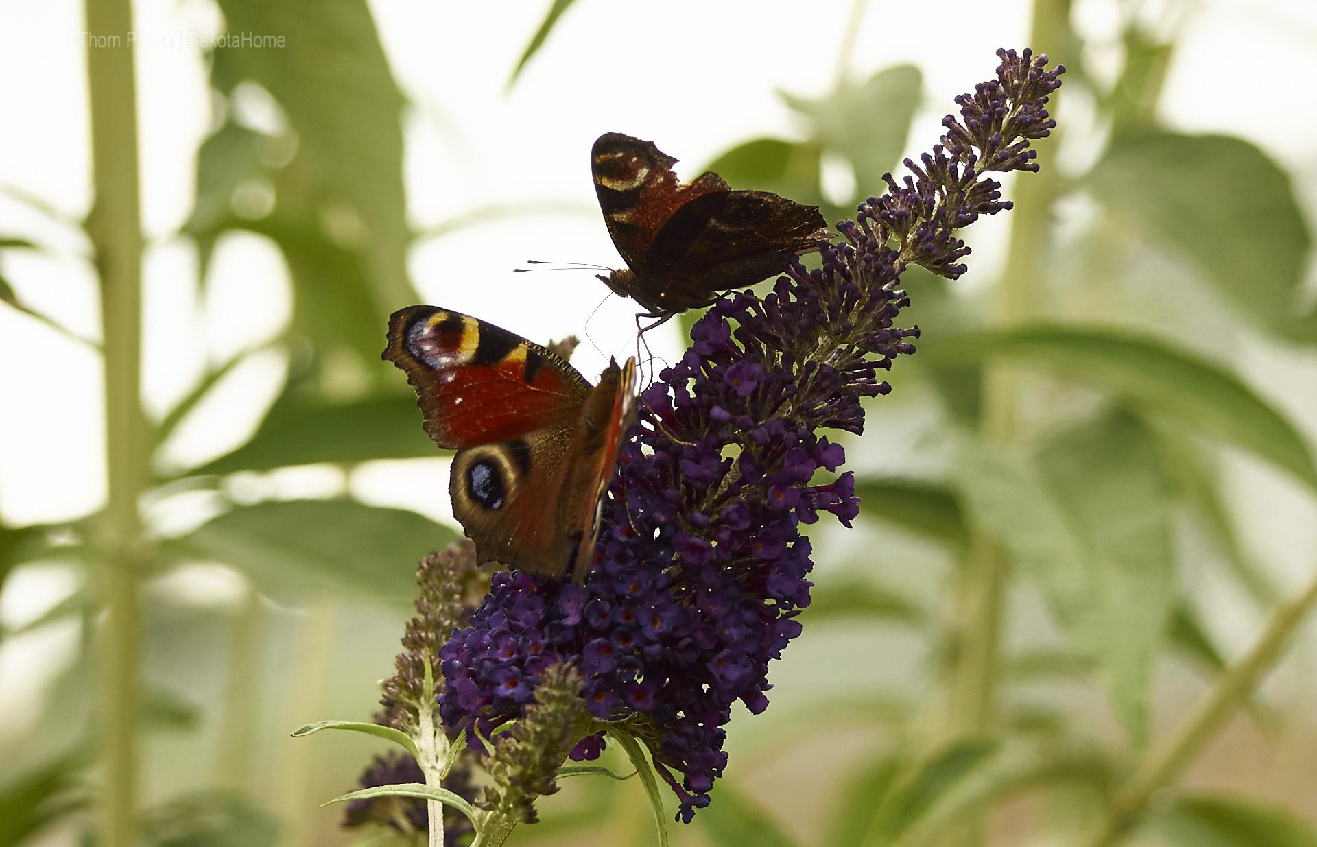 Schmetterlinge..sie sind wieder da..