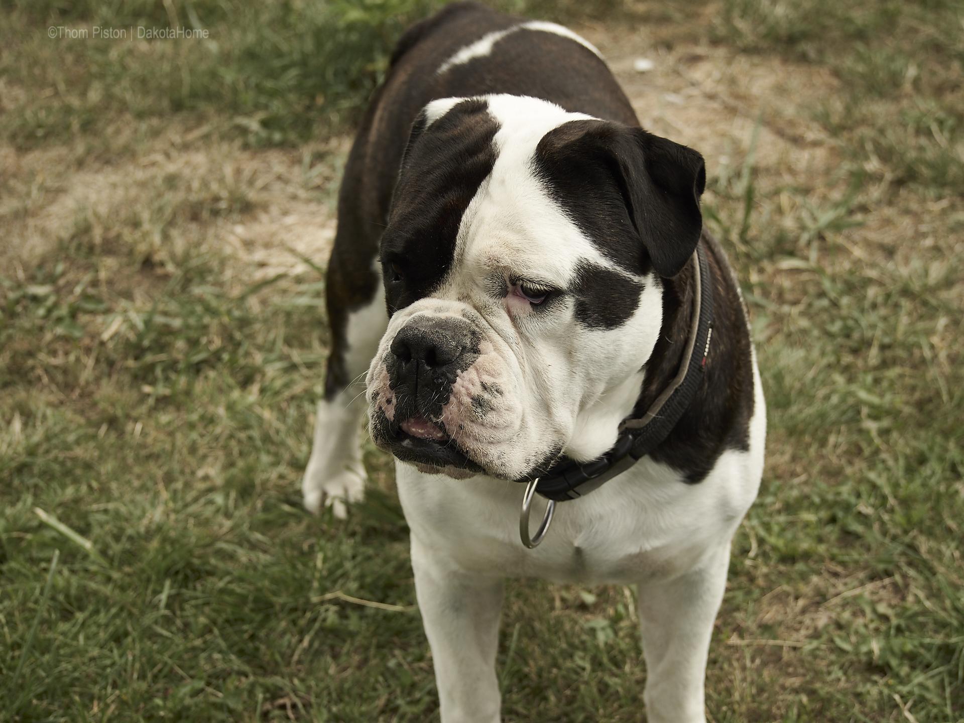Dakota Home, Alwin die Olde British Bulldog kurz vorm blödsinn machen..zb. kartoffeln ausgraben um zu sehn ob sie schon fertig sind...