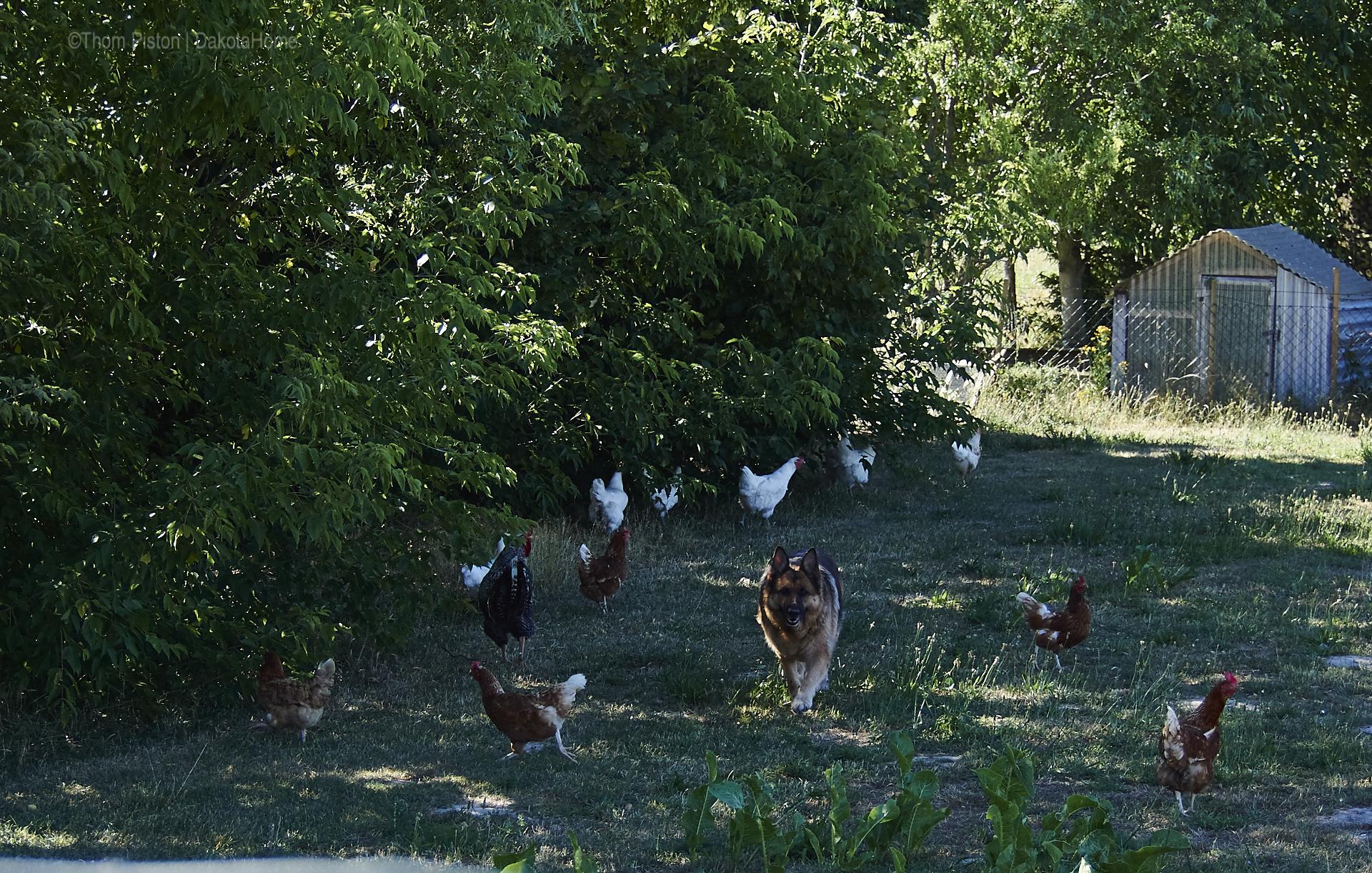 Bella und ihrer Hühnerchens Familie