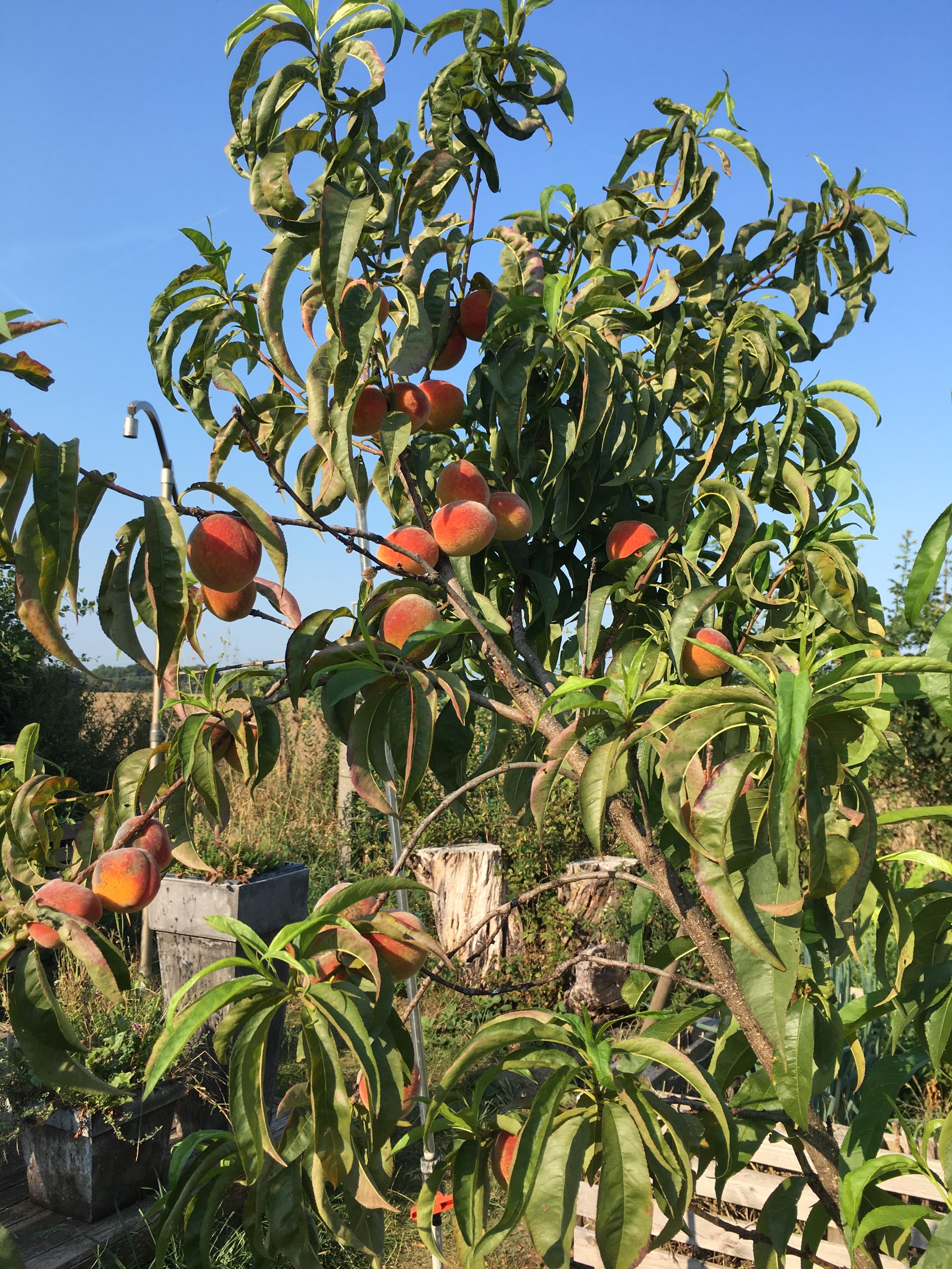Pfirsichbaum at Dakota Home