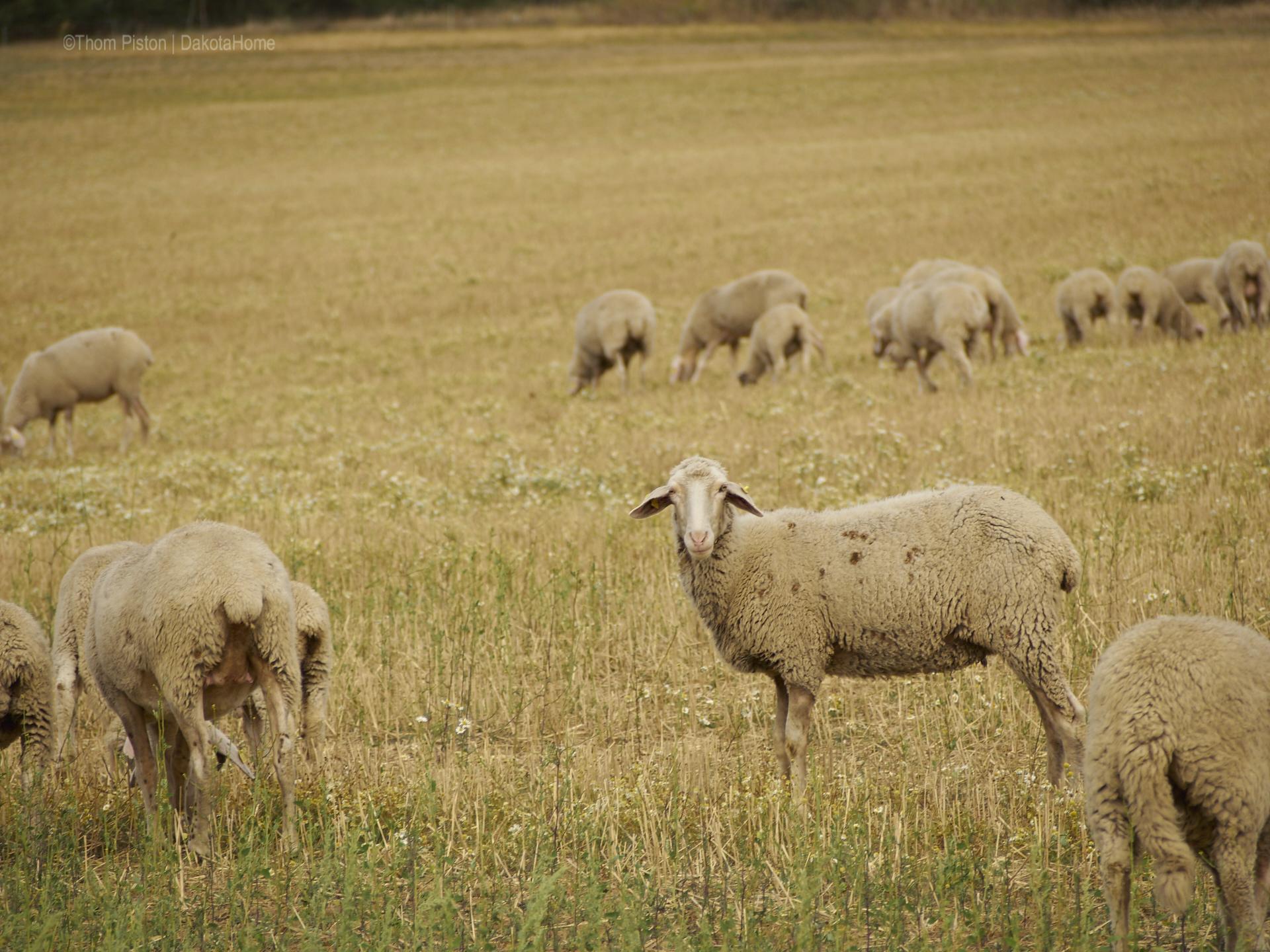Schafe, ende August, Brandenburg