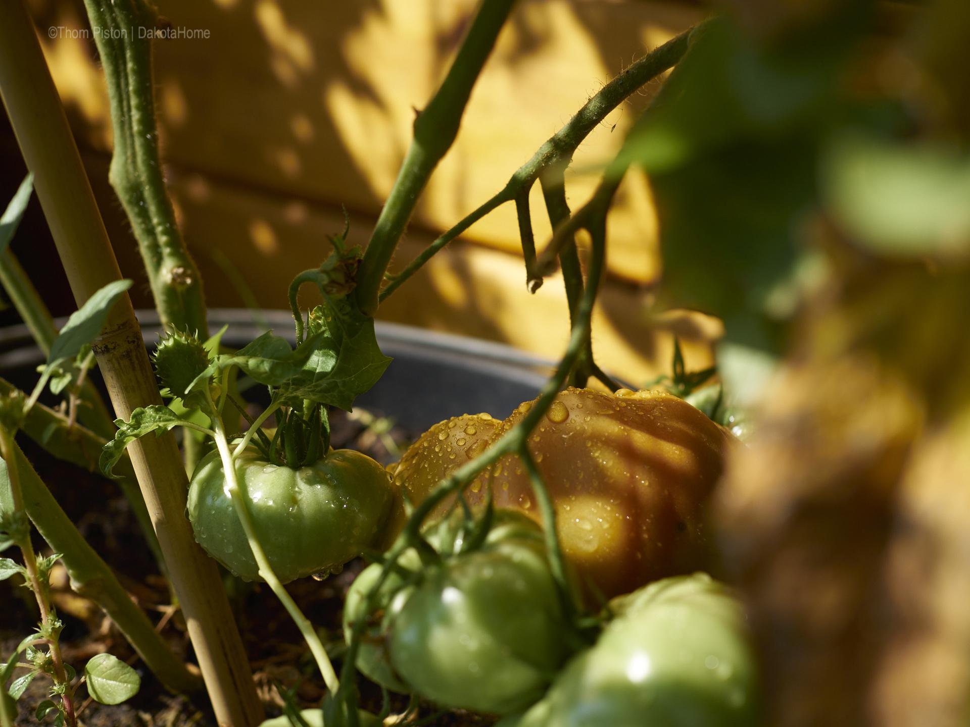 Tomaten, Ponderosa September 2018