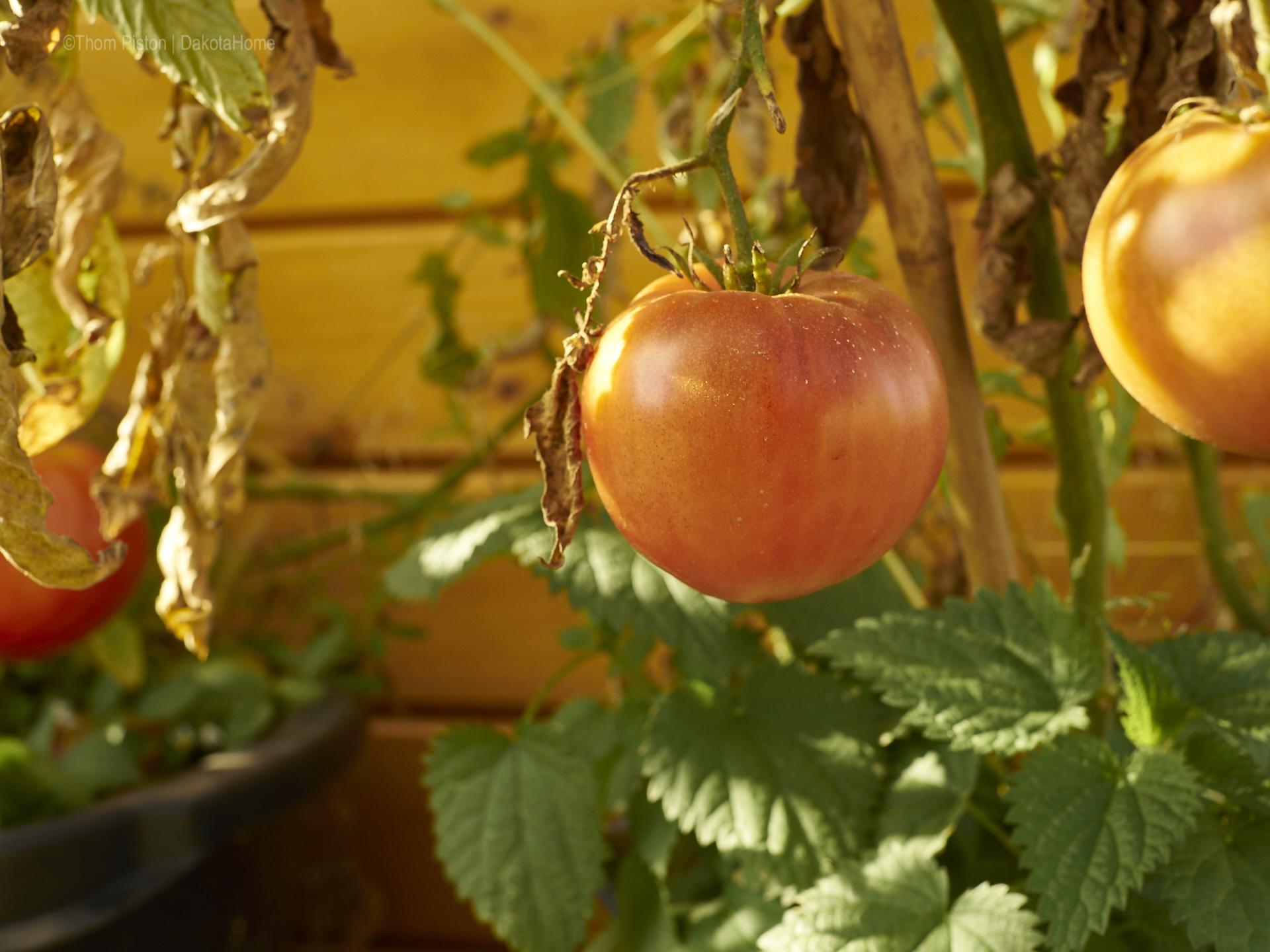 Tomaten, Ende Oktober 2018, Dakota Home