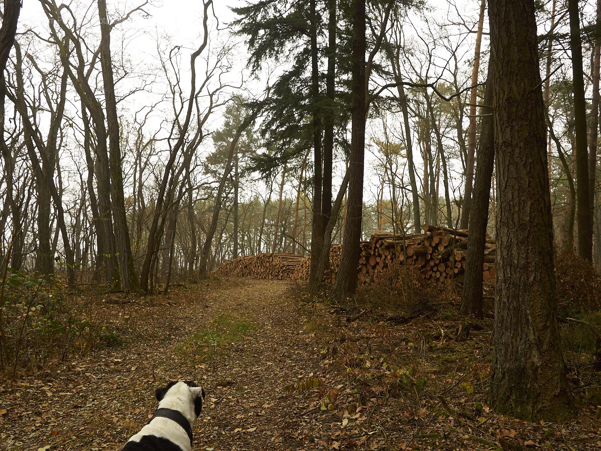 Alwin die Bulldogge, kalter Winter und sein Wald... er lebt seinen liebsten Traum
