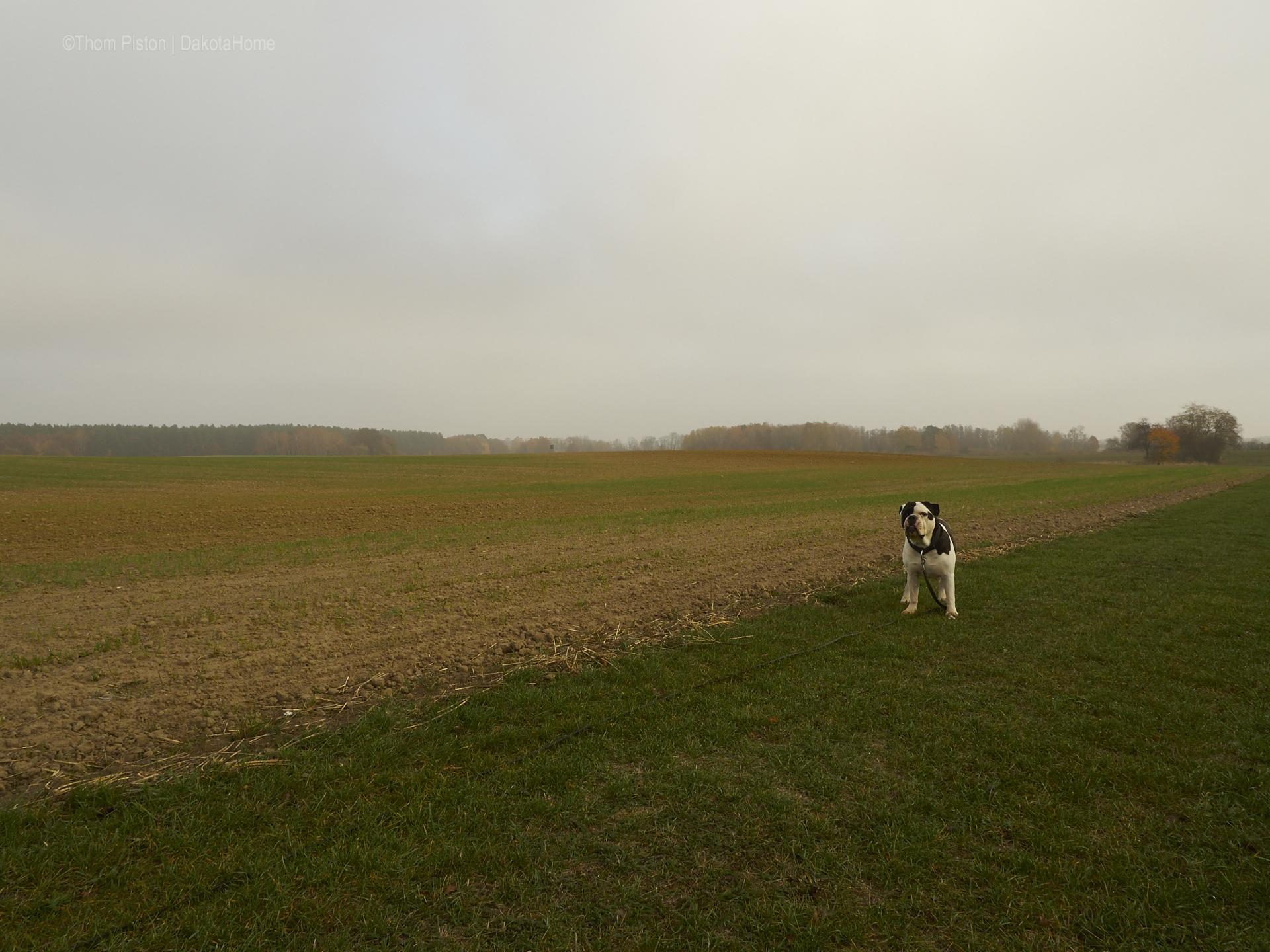 Mitte November, Bulldogge im Nebel in Brandenburg