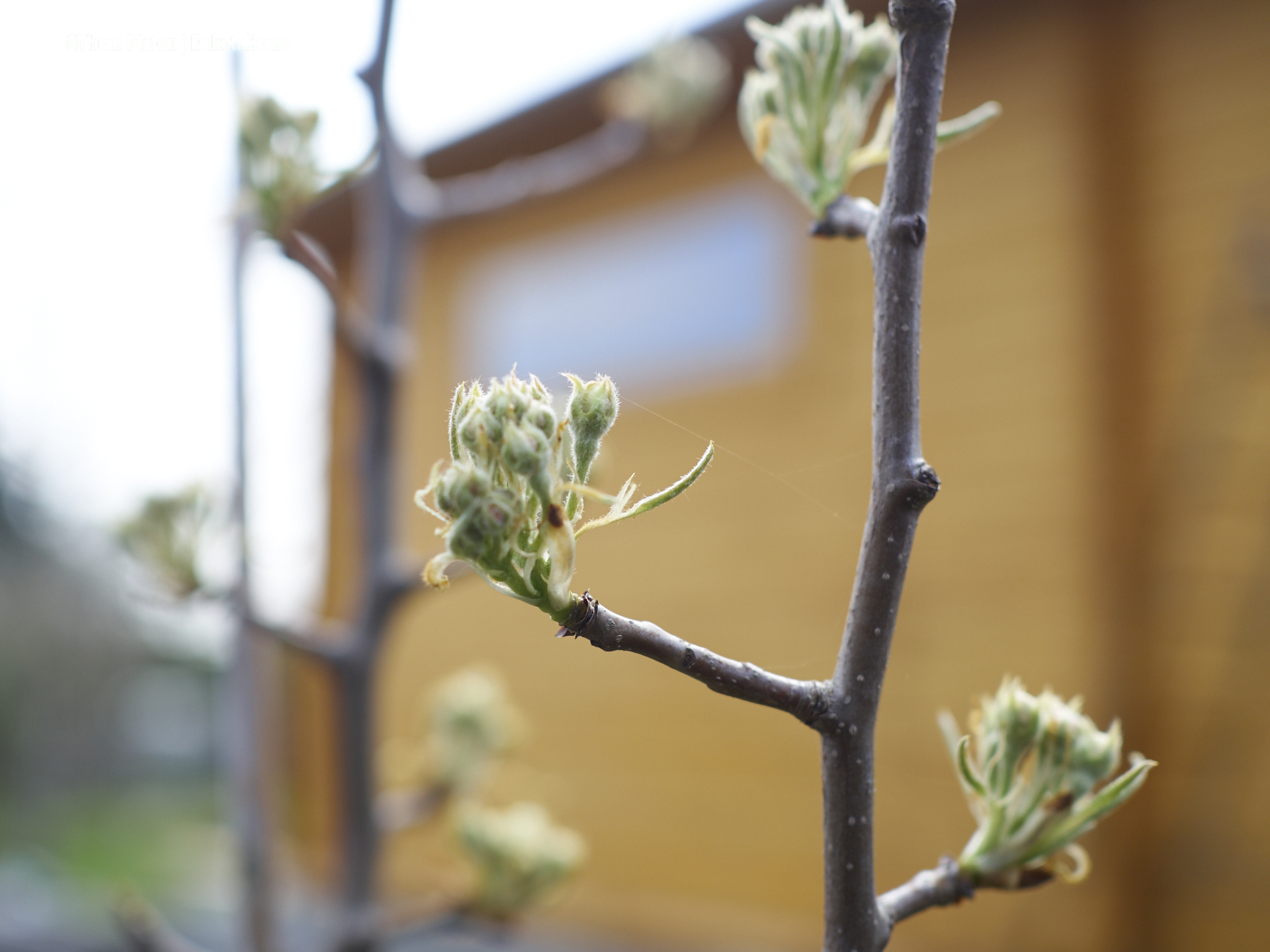 ..der ganz junge gepflanzte Birnenbaum gibt auch alles..