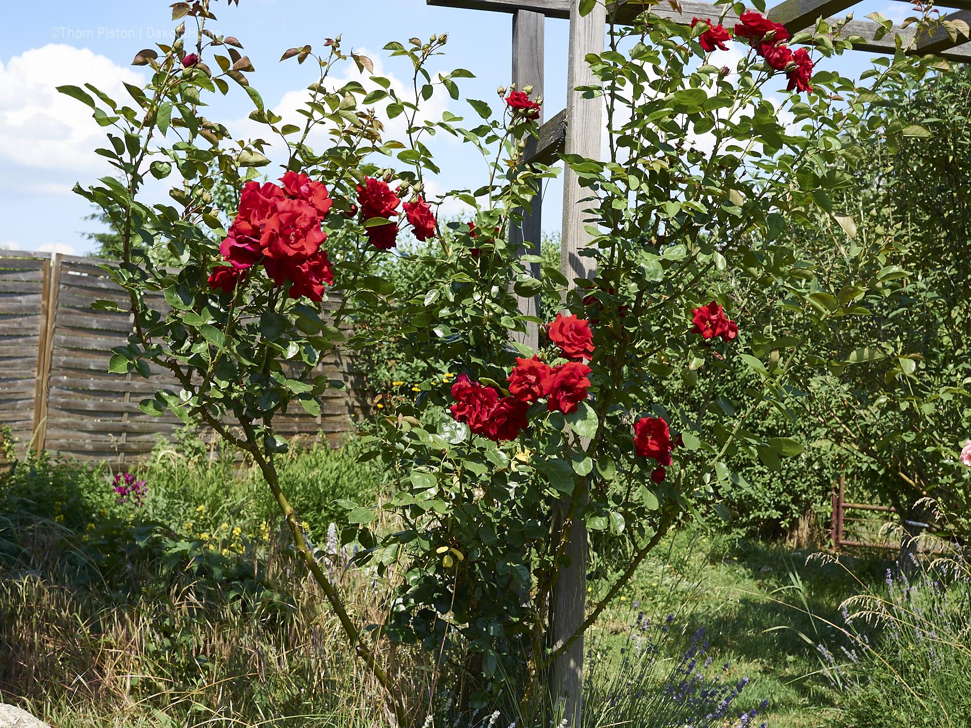 es scheinen die selben Rosen wie am Dakota Home an der Ponderosa zu wachsen..das tiefdunkle Rot der Rosen ist unglaublich schön