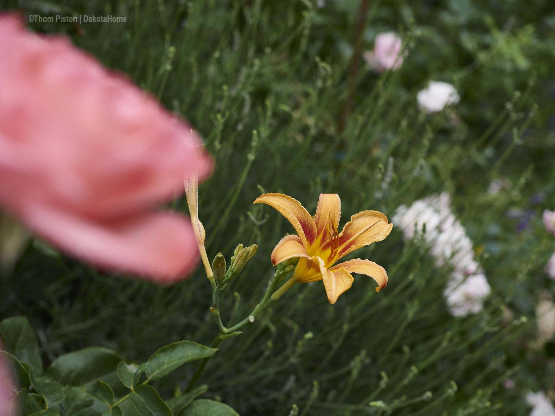 ...die fremde Besucherin..mang den Rosen am Dakota HomeTaglilie