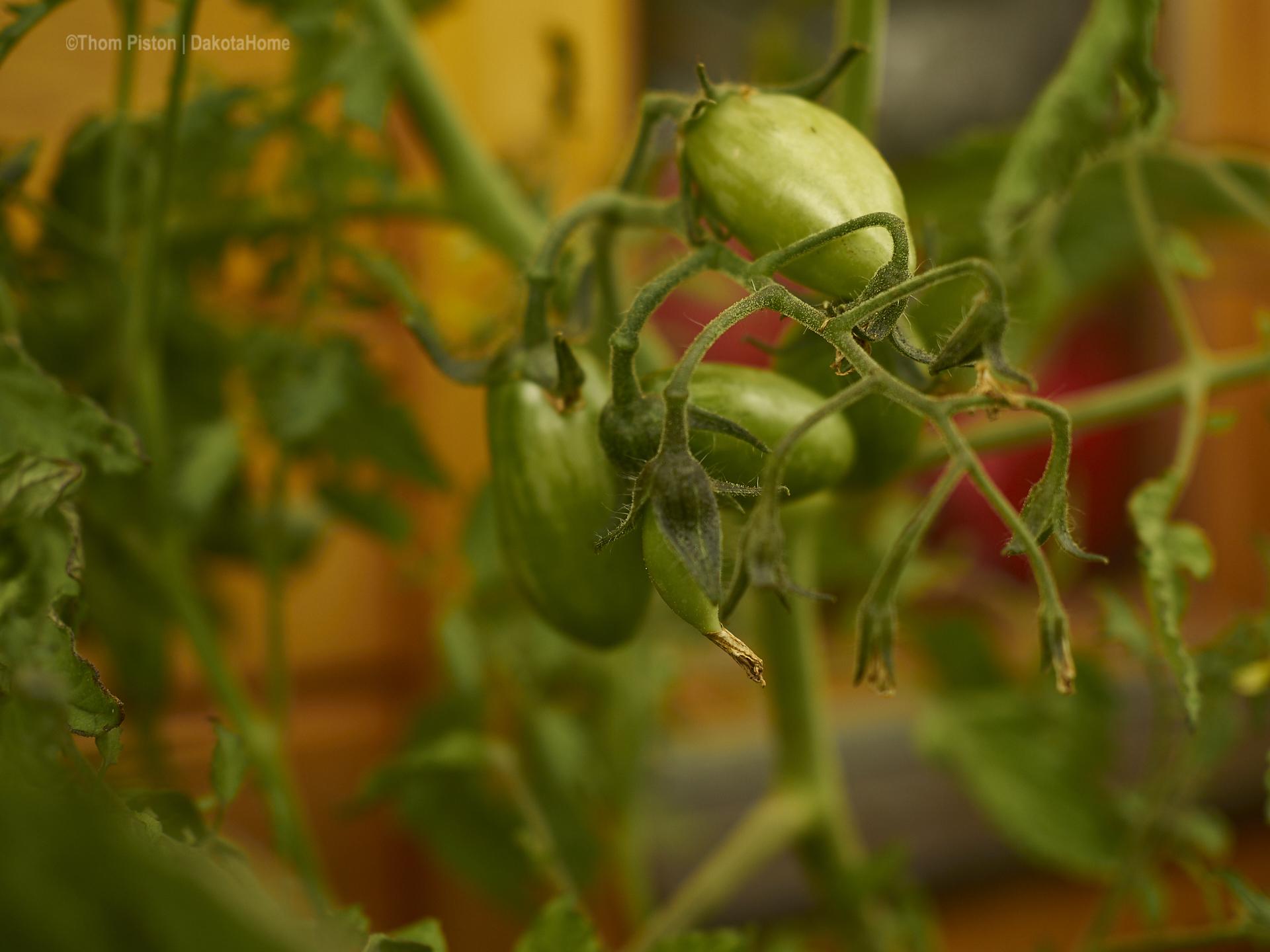 Tomaten unterschiedlichster Art